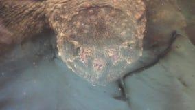 Schildpad die uit water komen stock footage