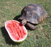 Schildpad die watermeloen eet Stock Afbeeldingen