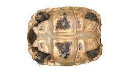 Schildpad die in wit wordt geïsoleerdc Royalty-vrije Stock Afbeelding