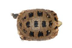 Schildpad die in wit wordt geïsoleerdn Stock Foto