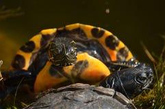 Schildpad die zijn bruid nastreven Royalty-vrije Stock Afbeeldingen