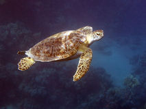 Schildpad in diep blauw Royalty-vrije Stock Afbeeldingen