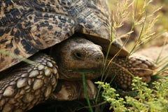 Schildpad door te voeden Royalty-vrije Stock Afbeeldingen