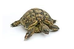 Schildpad Emma Royalty-vrije Stock Afbeeldingen