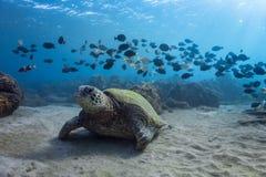 Schildpad en Band van Vissen Stock Afbeelding