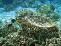 Schildpad en koraalrif Stock Foto