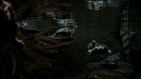 Schildpad en krokodil onder water stock videobeelden