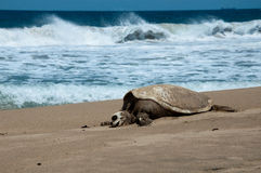 Schildpad en oceaan Royalty-vrije Stock Fotografie