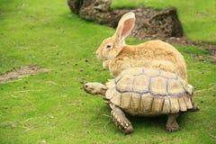 Schildpad en reuzekonijn die een race beginnen stock fotografie