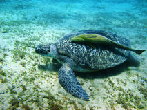 Schildpad en suckerfish Stock Foto