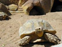 Schildpad en woestijn Stock Foto