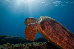 Schildpad en zonnestraal stock afbeelding