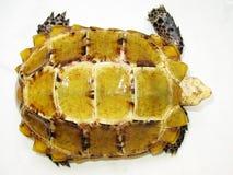 Schildpad--Geïmponeerde tortoiseï ¼ Manouria impressaï ¼ Royalty-vrije Stock Foto's
