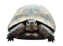 Schildpad, geïsoleerde foto Schildpad van de voorzijde Royalty-vrije Stock Afbeeldingen