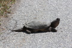 Schildpad, Gemeenschappelijke het Breken Chelydra serpentina Royalty-vrije Stock Afbeelding