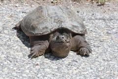 Schildpad, Gemeenschappelijke het Breken Chelydra serpentina Stock Afbeelding
