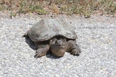 Schildpad, Gemeenschappelijke het Breken Chelydra serpentina Stock Foto's