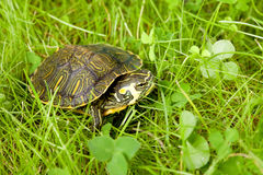 Schildpad in gras stock fotografie