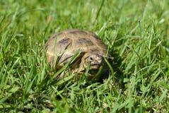 Schildpad in gras Royalty-vrije Stock Fotografie