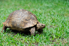 Schildpad in gras royalty-vrije stock foto