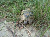 Schildpad in het bos stock fotografie