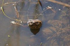 Schildpad het een hoogtepunt bereiken uit het water Stock Foto's