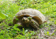 Schildpad in het Gras Stock Afbeelding