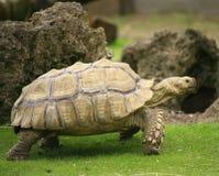 Schildpad het lopen stock foto