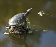 Schildpad in het moeras Royalty-vrije Stock Foto's