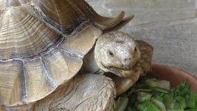 Schildpad het voeden op de vloer stock footage