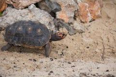 Schildpad in het zand Royalty-vrije Stock Afbeeldingen