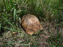 Schildpad in hoog gras in Swasiland Stock Foto