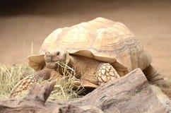 Schildpad in Loro-Park in Puerto de la Cruz op Tenerife, Canarische Eilanden stock afbeeldingen