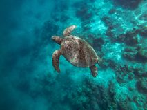 Schildpad, mabul eiland sabah, Maleisië royalty-vrije stock foto