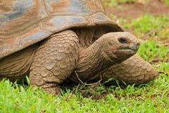 Schildpad in Mauritius Stock Afbeeldingen