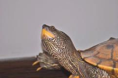 Schildpad met omhoog hoofd Royalty-vrije Stock Fotografie