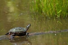Schildpad onbeweeglijk Royalty-vrije Stock Foto