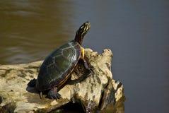 Schildpad onbeweeglijk Stock Fotografie