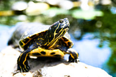 Schildpad onder de zon Stock Fotografie