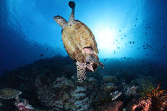 Schildpad onder het overzees Royalty-vrije Stock Foto
