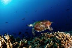 Schildpad onder het overzees Stock Afbeeldingen