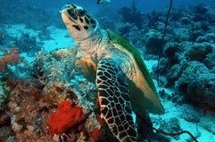Schildpad onderwater stock foto's