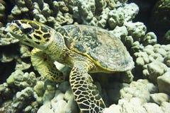 Schildpad onderwater royalty-vrije stock afbeelding