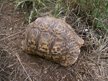 Schildpad op bosvloer in Swasiland Stock Afbeelding