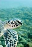 Schildpad op de ertsader Stock Afbeeldingen