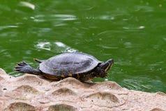 Schildpad op de kust Royalty-vrije Stock Afbeelding