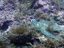 Schildpad op de oceaanbodem Royalty-vrije Stock Afbeeldingen