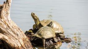 Schildpad op de rivierbank in de lente Royalty-vrije Stock Fotografie