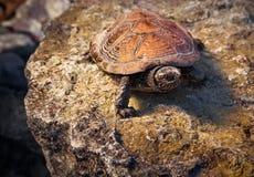 Schildpad op de steen Stock Afbeeldingen