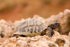 Schildpad op een rots Stock Foto's